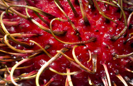 Macro of a rambutan fruit, a relative of lychees 免版税图像