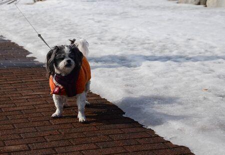 cute puppy walking on sidewalk wearing costume in sunny day