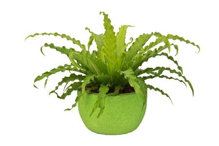 fern in pottery