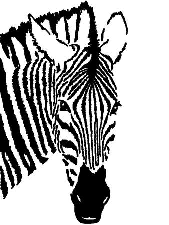 dobbin: zebra drawing,white background   Stock Photo