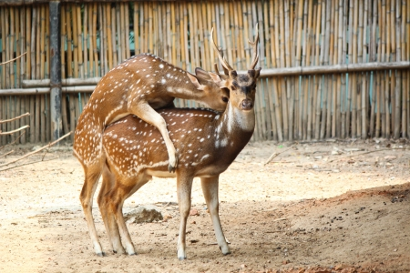 Deer Breeding  Stock Photo - 14305742