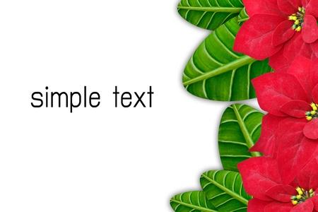 christmas flower: poinsettias Christmas flower isolated on white background