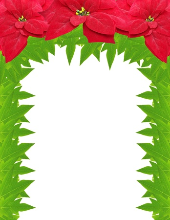christmas flower frame from poinsettias isolated on white background  photo