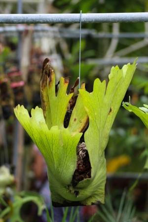 platycerium: Platycerium coronarium fern