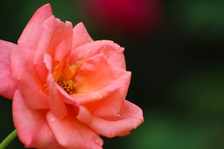 Beautiful Orange Rose in Garden with Blurred Background Stock Photo