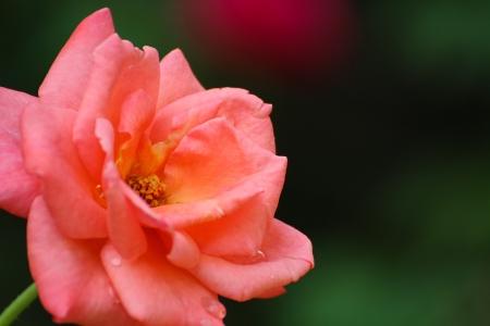 Belle Rose orange dans le jardin avec arri�re-plan flou