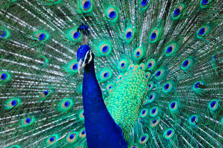 exhibiting: peacock displaying