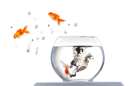 gold fish and aquarium on white background photo