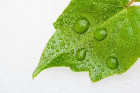 dewdrop: a piece of leaf with dewdrop