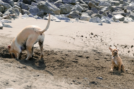 Close-up of a puggle puppy getting a sand shower from a labrador puppy digging a hole on the beach