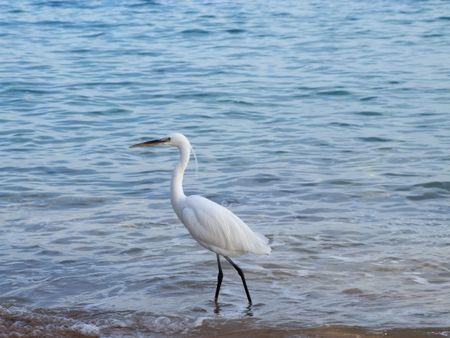 exterminating: Heron ashore exterminating red sea in Egipt