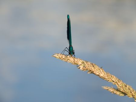 Dragon-fly on Stem of grass photo