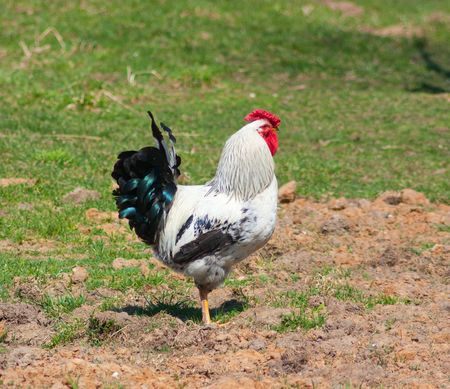 A grey rooster on green grass background photo