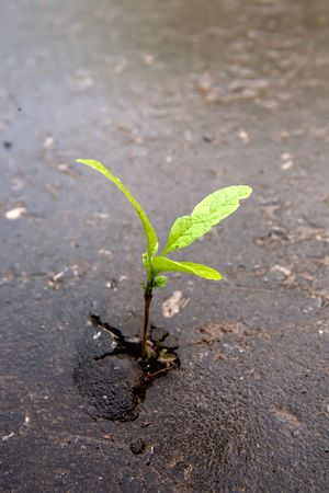 Young sprout makes the way through asphalt on city road. Stock Photo - 4944010