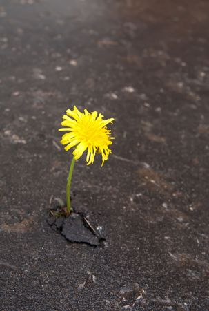 Young dandelion makes the way through asphalt on city road. Stock Photo