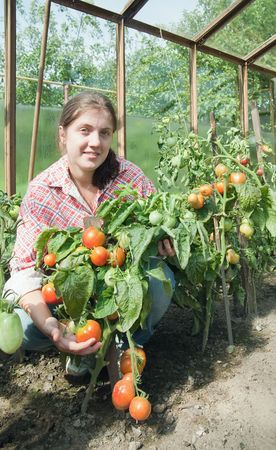 forcing bed: young woman is picking of tomato in the hothouse Stock Photo