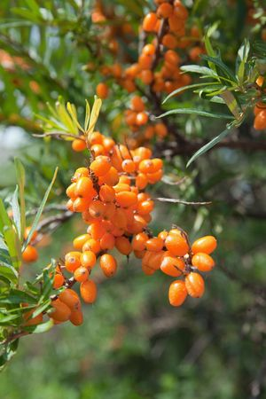 seabuckthorn: Closeup of Hippophae at plant in summer