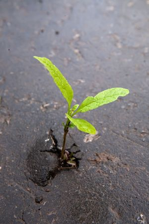 strong growth: Young sprout makes the way through asphalt on city road. Stock Photo
