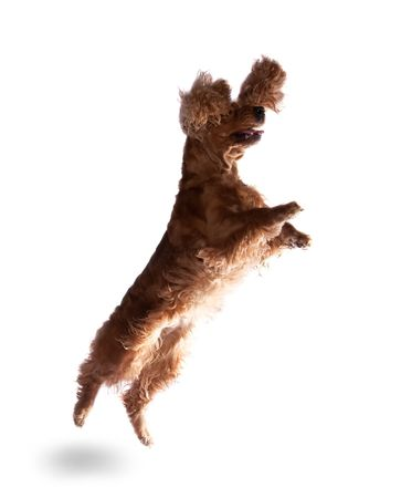 cocker: Jumping cocker spaniel isolated over white background Stock Photo