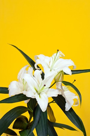 bouquet of white lily on yellow background photo