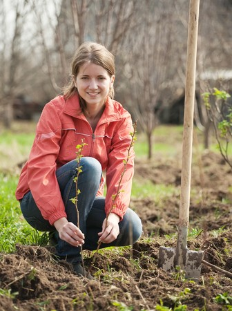 young woman resetting  raspberry sprouts in orchard  photo