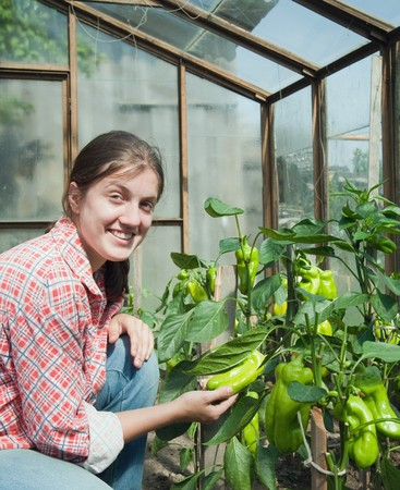 forcing bed: young woman is picking of green pepper in the greenhouse