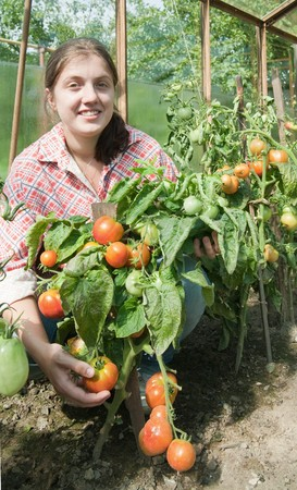 forcing bed: young woman is picking of tomato in the greenhouse Stock Photo
