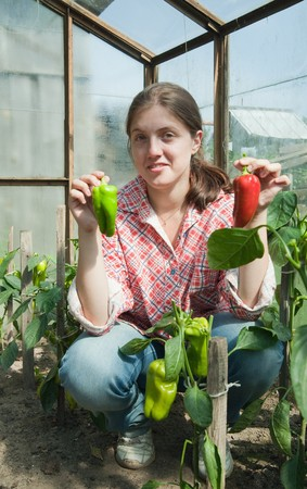 forcing bed: young woman is picking of green pepper in the hothouse