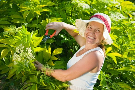 yard work: senior woman cutting  cornus in her garden