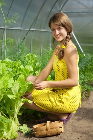 forcing bed: young girl picking lettuce in the hothouse