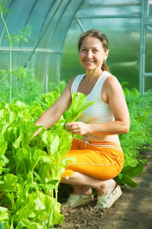 Smiling woman picking lettuce in the hothouse Stock Photo - 7449114
