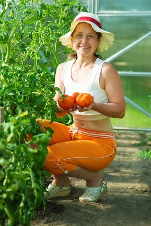 Smiling woman picking tomato in the hothouse photo