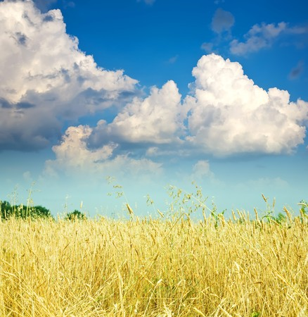 Summer landscape with cereals field and cloudy sky photo