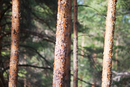 Background of closeup of pine tree forest Stock Photo - 7582533