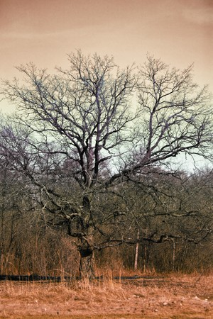 A menacing looking tree and  overcast sky photo