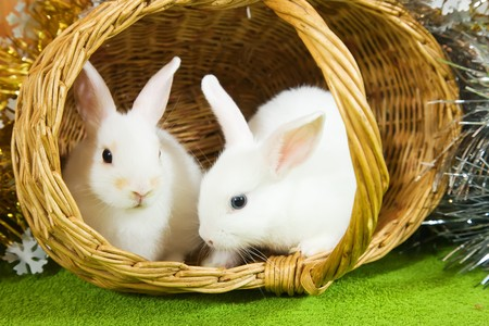 Two white rabbits in basket against spangle photo