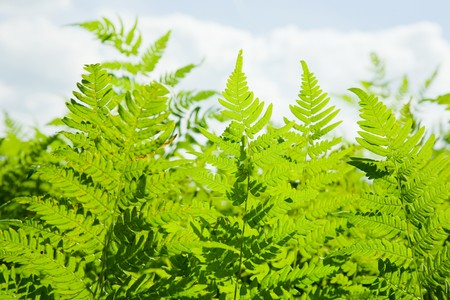 Background of wild fern against blue sky Stock Photo - 7615745