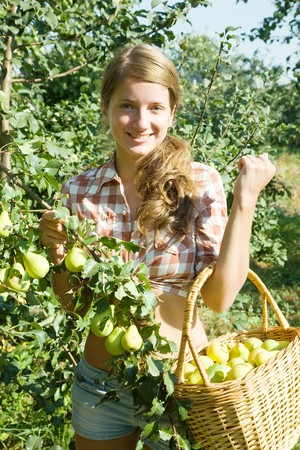 Teen girl picking peares in the orchard  photo
