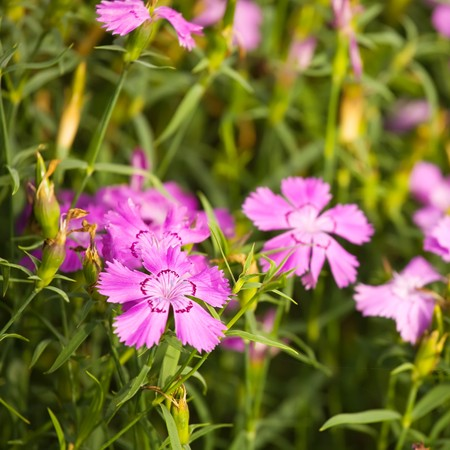 campestris: Closeup of field pink on garden in summer Stock Photo