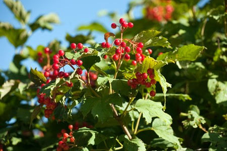 bunchy: Bunch of ripe Viburnum berry against blue sky. Stock Photo