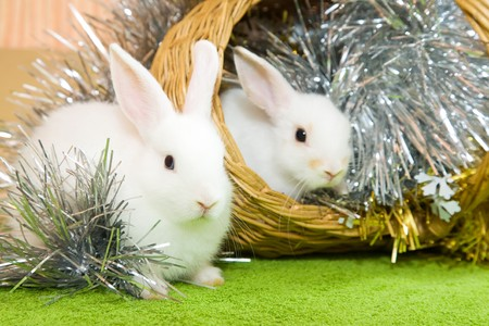 Two white rabbits in basket against trumpery on green photo