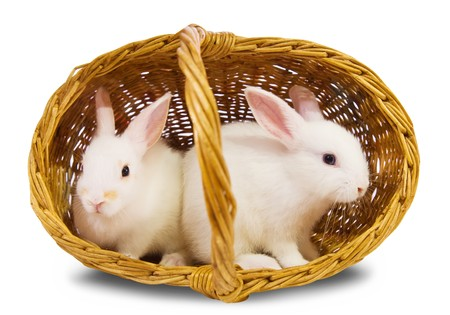 Two white rabbits in basket. Isolated on white background  photo