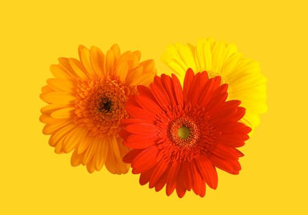 Three flowers of gerbera on yellow background photo