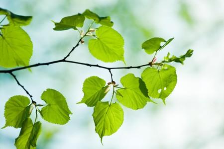 tilia: Close up of green tilia leaves, brightly backlit against  sky