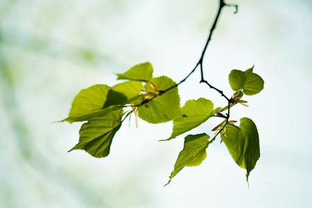 tilia: Fresh green leaves of tilia in spring Stock Photo