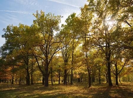 View of beautiful oak grove in autumn photo