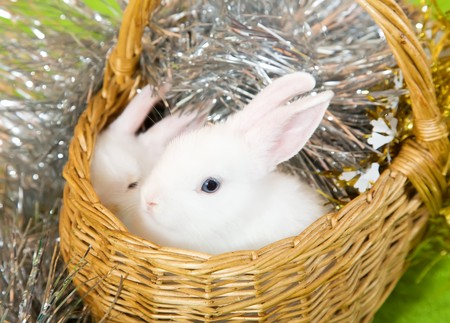 tawdry: Two white rabbits in basket against spangle on green Stock Photo
