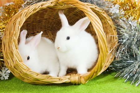 Two white rabbits in basket against tinsel