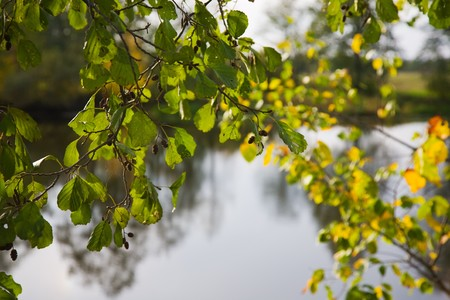 alder tree: autumn alder tree leaves in the sunshine against river
