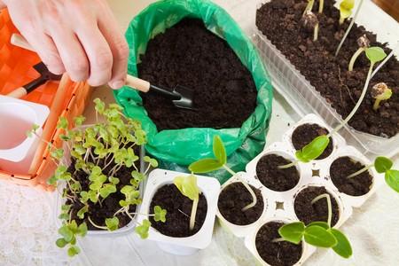 semen: diversi germogli di coltivazione in vaso con terreno  Archivio Fotografico